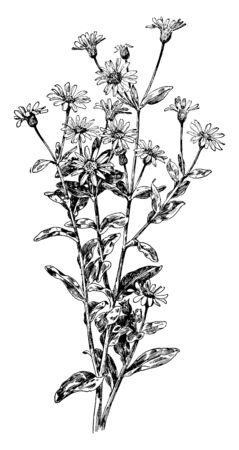 The name was obtained from its color. Leaves are nearly small to top and large size at the bottom on stem. Flower grown top of plant, vintage line drawing or engraving illustration. Ilustração