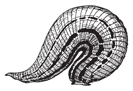 Horse Leech similar to the medicinal leech feeds chiefly on earthworms and on other leeches, vintage line drawing or engraving illustration.