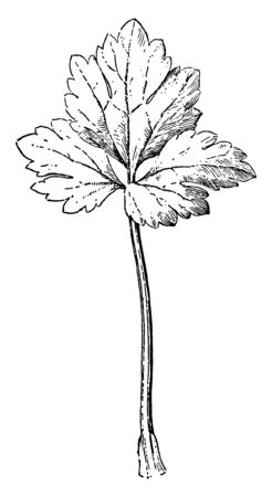 A picture showing Palmately divided leaf of buttercup flower, vintage line drawing or engraving illustration. Stock Illustratie