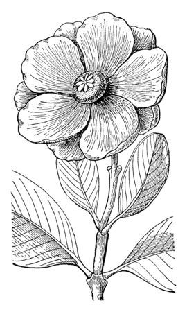Arrudea is an evergreen shrub. The some stems are tall and slender, vintage line drawing or engraving illustration. Illusztráció