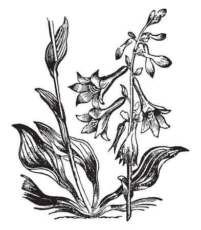 A picture is showing Day-lily. This is a flowering plant in the genus Hemerocallis, having a perianth with bell-shaped limb, and sub-cylindrical tube. Day-lily is a native of Hungary, Siberia, vintage line drawing or engraving illustration.