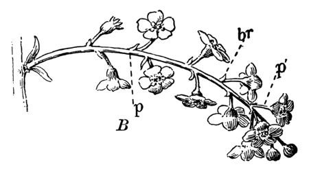 This image is showing a branch. The flowers are small. The stems are thin and long, vintage line drawing or engraving illustration.