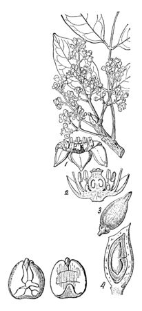 Marignia Obtusifolia is the name of a species, part of the genus Marignia. 1. A flower 2. The same divided vertically 3. A fruit 4. A section of the same, vintage line drawing or engraving illustration. Ilustrace