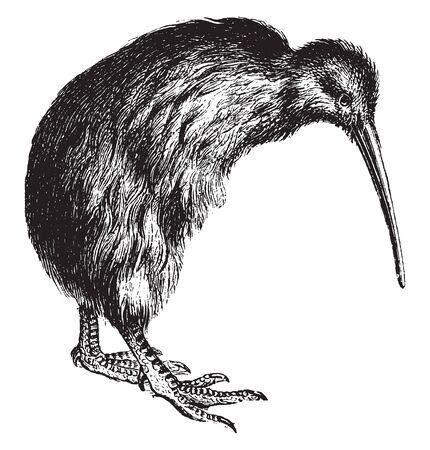 Kiwi is a native of New Zealand is closely related to the Ostrich but much smaller, vintage line drawing or engraving illustration.