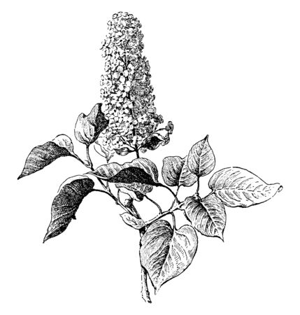 Syringa Vulgaris also known as
