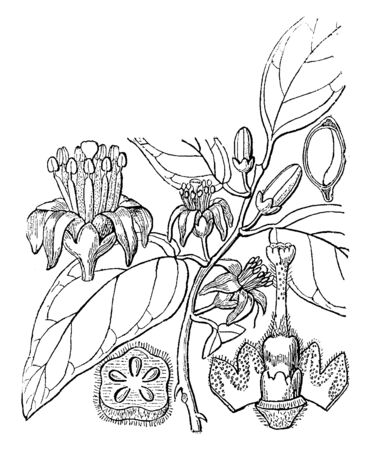 Micromelum is used for traditional medicine. Leaves are glandular and aromatic containing oils. It is yellow, orange, or red, and sometimes fleshy, vintage line drawing or engraving illustration.