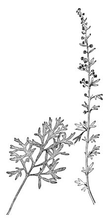 Wormwood Plant stems is straight, growing to 0.8-1.2 meters but, sometimes even larger grooved branched and silvery-green. The leaves are spirally arranged, greenish-grey above and white below, vintage line drawing or engraving illustration.
