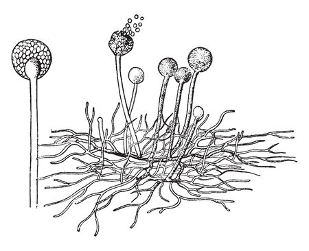 A picture showing the common Mold found on Fruits and Bread, vintage line drawing or engraving illustration.