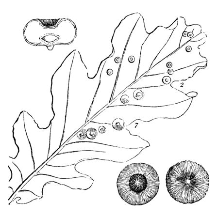 In this Picture, the Leaves of the Plant have become fungal Diseases, vintage line drawing or engraving illustration. Illustration