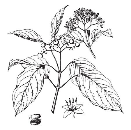 Cornus baileyi is native from Pennsylvania to Minnesota and Wyoming. It is an erect shrub with reddish branches, vintage line drawing or engraving illustration. Ilustração