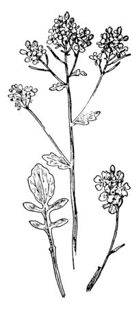 Yellow Rocket plant is also called Wintercress which is especially likes moist rich soil and its flowers are yellow and often appear in a cluster, vintage line drawing or engraving illustration.  イラスト・ベクター素材