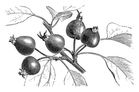 This image of a pyrus malus crataegina. This fruit is small and rounded, vintage line drawing or engraving illustration. Ilustrace