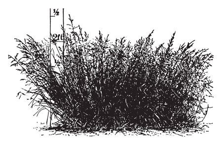This is a image of Kentucky bue-grass. It is grown from a single seed. It is mostly found in Europe and Asia, vintage line drawing or engraving illustration. Stockfoto - 133250986