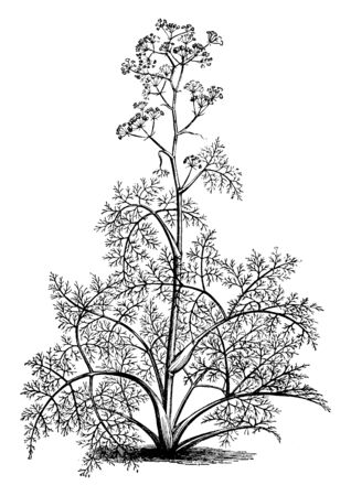 A picture is showing Ferula Tingitana, commonly known as Giant Fennel. It belongs to Apiaceae family. This is a tall perennial herb. It has yellow flowers, vintage line drawing or engraving illustration. Ilustracja