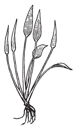 Picture is of Heteranthera plant. Plant consists of long petioles and small leaves. It generally grows in mud, vintage line drawing or engraving illustration.