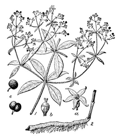 A picture, thats showing a Rubia plant. This is from Rubiaceae family. The flowers are small yellow. The branches are very thin. It is herb, vintage line drawing or engraving illustration. Illustration