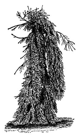 Weeping Norway spruce is a hardiest weeping trees, works well to create a focal point in colder regions. The branches of these trees droop downward. It is found basically in Europe, vintage line drawing or engraving illustration.