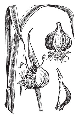 A picture is showing Garlic. This is a perennial plant which species in the onion genus, Allium. Garlic has been used for food flavoring and in traditional medicine, vintage line drawing or engraving illustration.