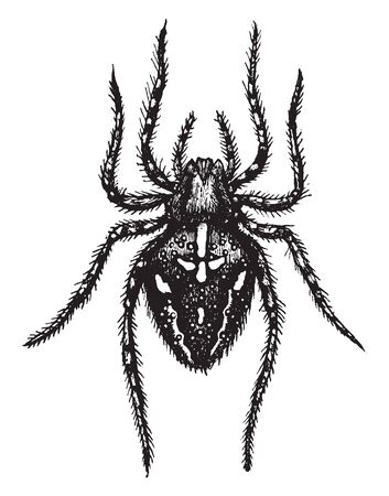 Cross Spider is a very common and well known orb weaver spider in Western Europe, vintage line drawing or engraving illustration.