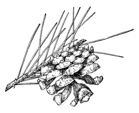 A picture showing the Pine Cone of Single-Leaf Pinyon which is also known as Pinus monophylla, vintage line drawing or engraving illustration.