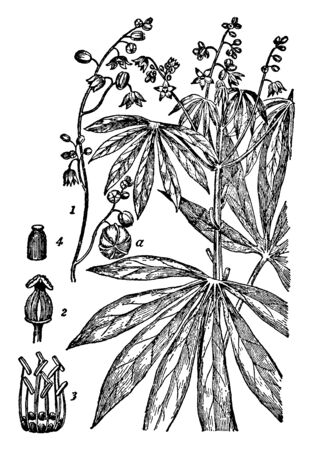 This is the image of Yuca cassava. It is the third largest source of carbohydrates for human food. Africa is its largest center of production, vintage line drawing or engraving illustration.