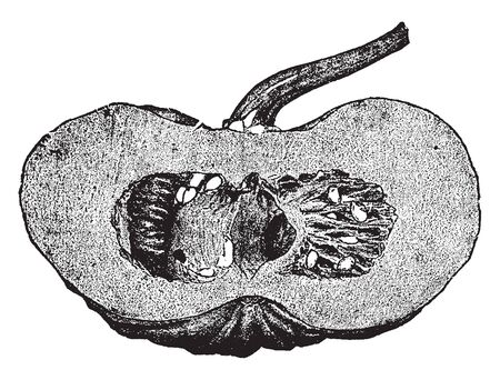 This is a partially chopped pumpkin; there are seeds inside the pumpkin, the pulp layer very thick, vintage line drawing or engraving illustration.