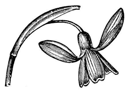 A picture shows the Snowdrop Flowering Plant. The solitary white flowers hang down loosely and in the development stage, it is enclosed by a papery sheath, vintage line drawing or engraving illustration.