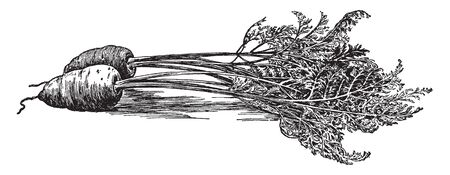 The carrot grows in cool temperatures. Carrots grow in small gardens and even flower beds, vintage line drawing or engraving illustration.