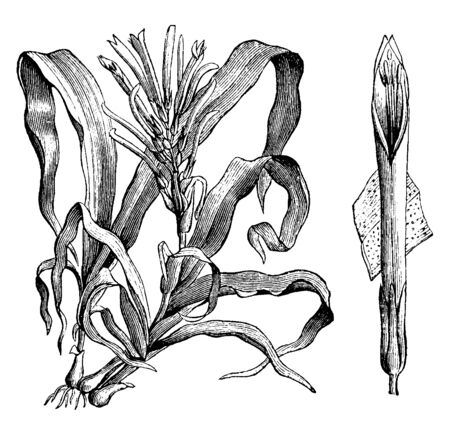 A picture is showing the flower and section of a leaf of the Pitcairnia andreana plant. The petals are yellow at the tip with red at the bottom, vintage line drawing or engraving illustration. Ilustrace
