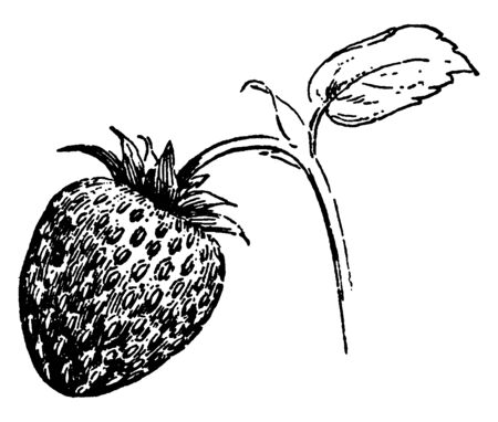 This is image of strawberry plant. The fruit attached to branch. The branch is very thin and little bit long. Leaves are small. It is a type of fruit, vintage line drawing or engraving illustration.