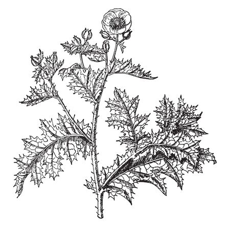 This Picture shows Argemone Grandiflora plant. It is genus of flowering plants in the family PapaVeraceae commonly known as prickly poppies. It grows tall & has very few prickles & flower grow together, vintage line drawing or engraving illustration.
