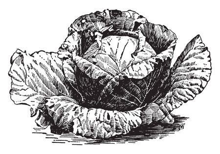There are three types of round-headed cabbage - white, red, and Savoy. The leaves of the white and red cabbage are usually smooth and shiny, vintage line drawing or engraving illustration.