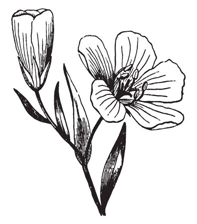 A picture is showing flax, it also known as linseed. It belongs to Linaceae family. Flowers are pure pale blue with five petals. This is a flower of Flax, vintage line drawing or engraving illustration.