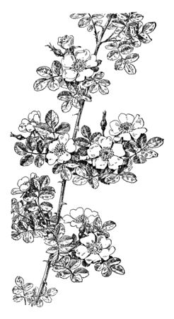 A picture, that's showing a sweetbriar plant. Simple leaves oval shaped. The flowers are pink and four to five petals. The stems are thorny, vintage line drawing or engraving illustration.