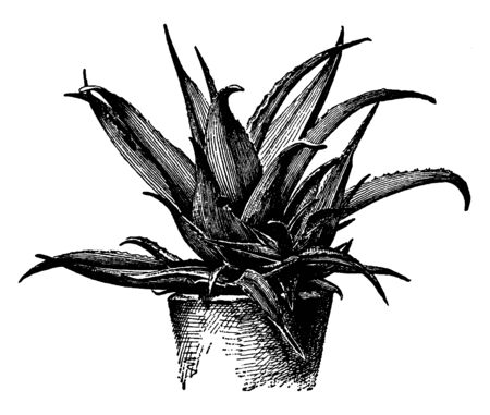 Picture shows Aloe Vera plant. It is used as medicine in medical and the leaves are thick, fleshy, green to grey-green, with some varieties showing white flecks on the upper and lower stem surfaces, vintage line drawing or engraving illustration.