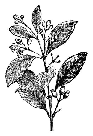 A picture of Indian Sandalwood plant. It is a class of woods from trees in the genus Santalum. The woods are heavy, yellow, and fine-grained, and unlike many other aromatic woods, vintage line drawing or engraving illustration.