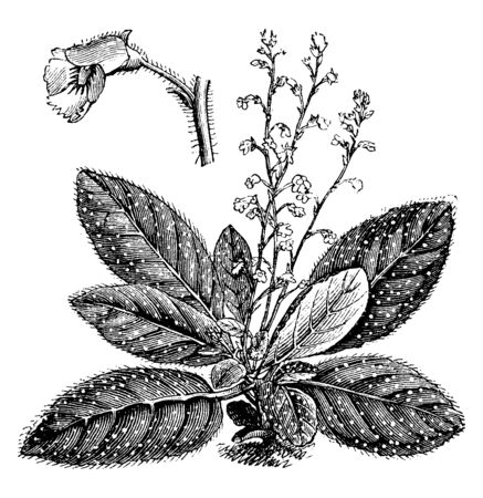 Koellikeria Argyrostigma is a herbaceous perennial plant. The flowers of these plants bloom in the summer season and are white or cream in color with red spots, vintage line drawing or engraving illustration.
