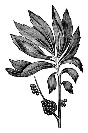Bayberry leaves have spirally arranged with broad tip. Fruits grown in bunch and wax coating on the fruit, vintage line drawing or engraving illustration.