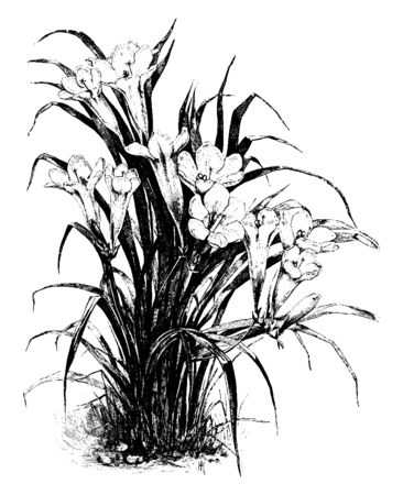 This plant is a New Zealand classic garden icon, blooms with an amazing perfume, vintage line drawing or engraving illustration.