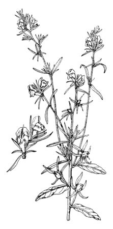A picture shows the Antirrhinum Orontium Flower plant. Its Leaves are thick, long, and linear and it looks like a kanagale leaves. It has buds and flower and it is known as small snapdragon, vintage line drawing or engraving illustration.
