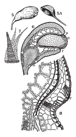 This is a structural image of Funaria and it is found in moist soil, rock, walls, and tree trunks, vintage line drawing or engraving illustration.