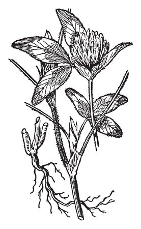 Red Clover is short-lived perennial plant. The leaves are alternate and petiole is long. Flower growing in a dense inflorescence, vintage line drawing or engraving illustration.  イラスト・ベクター素材