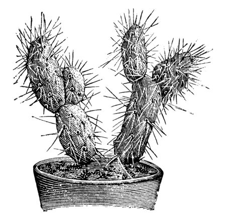 A picture showing the branch of Optunia Platyacantha which is a variety of prickly pear. This plant has a low branching stem, vintage line drawing or engraving illustration. Illustration