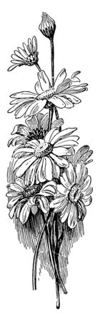 A picture is showing Daisies. This is a daisies flower bunch. These flowers are white, vintage line drawing or engraving illustration.