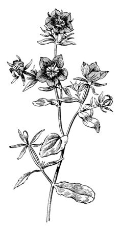 Picture shows the Specularia Speculum Flowering Plant. It has bright violet-blue upward facing cup shaped flowers. It is ornamental plant and leaves are fleshy, flat, and green, vintage line drawing or engraving illustration.