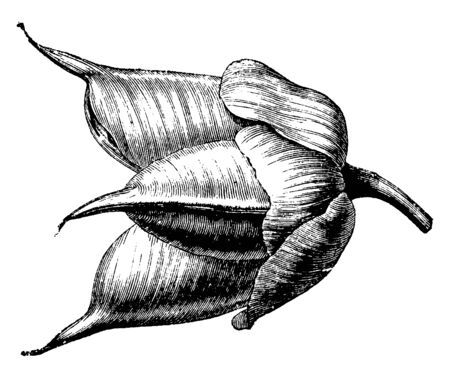 Flowers are covered and protect by brown sepal. Bud will produce a flower, vintage line drawing or engraving illustration.