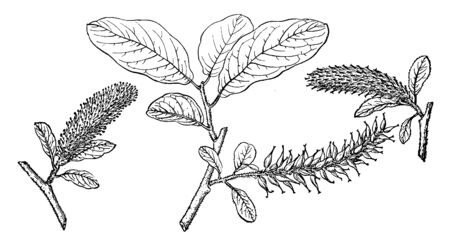 Salix Amplifolia shrub or tree growing up to 8 m tall, the leaves up to 11 cm long, oval in shape, wavy along the edges, and hairy to woolly in texture with shiny upper surfaces, vintage line drawing or engraving illustration.