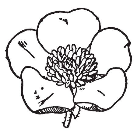 This is an image of Buttercup flower. It has usually five yellow, greenish or white petals, vintage line drawing or engraving illustration.