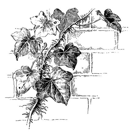 An illustration of the roots of ivy commonly known as Aerial adventitious roots, vintage line drawing or engraving illustration.
