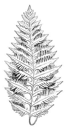 A picture showing Polypodium Vulgare. Leaves are like the teeth of a comb, 12 to 15 each side of frond. A fern with fronds between 12 to 20 inches long, with a width that varies between 4 to 8 inches, vintage line drawing or engraving illustration. Иллюстрация